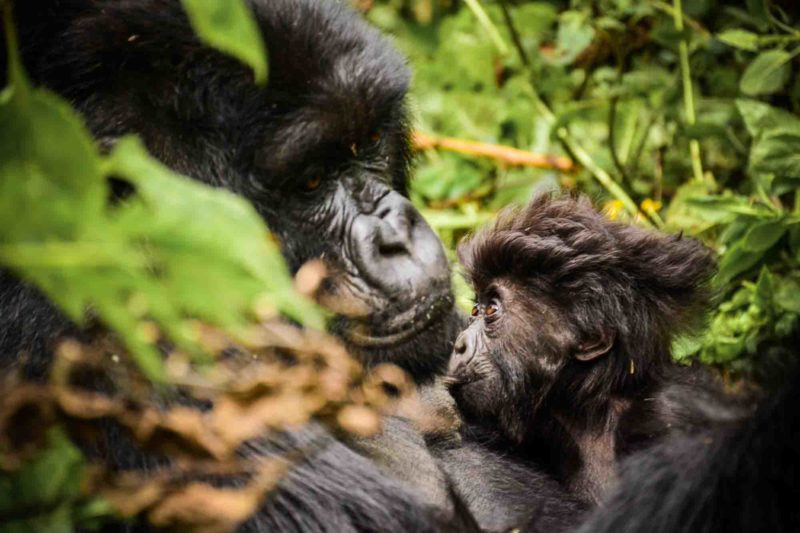 gorillas and volcanoes -uganda-packages-tours-journey-in-style-gallery-sabyinyo