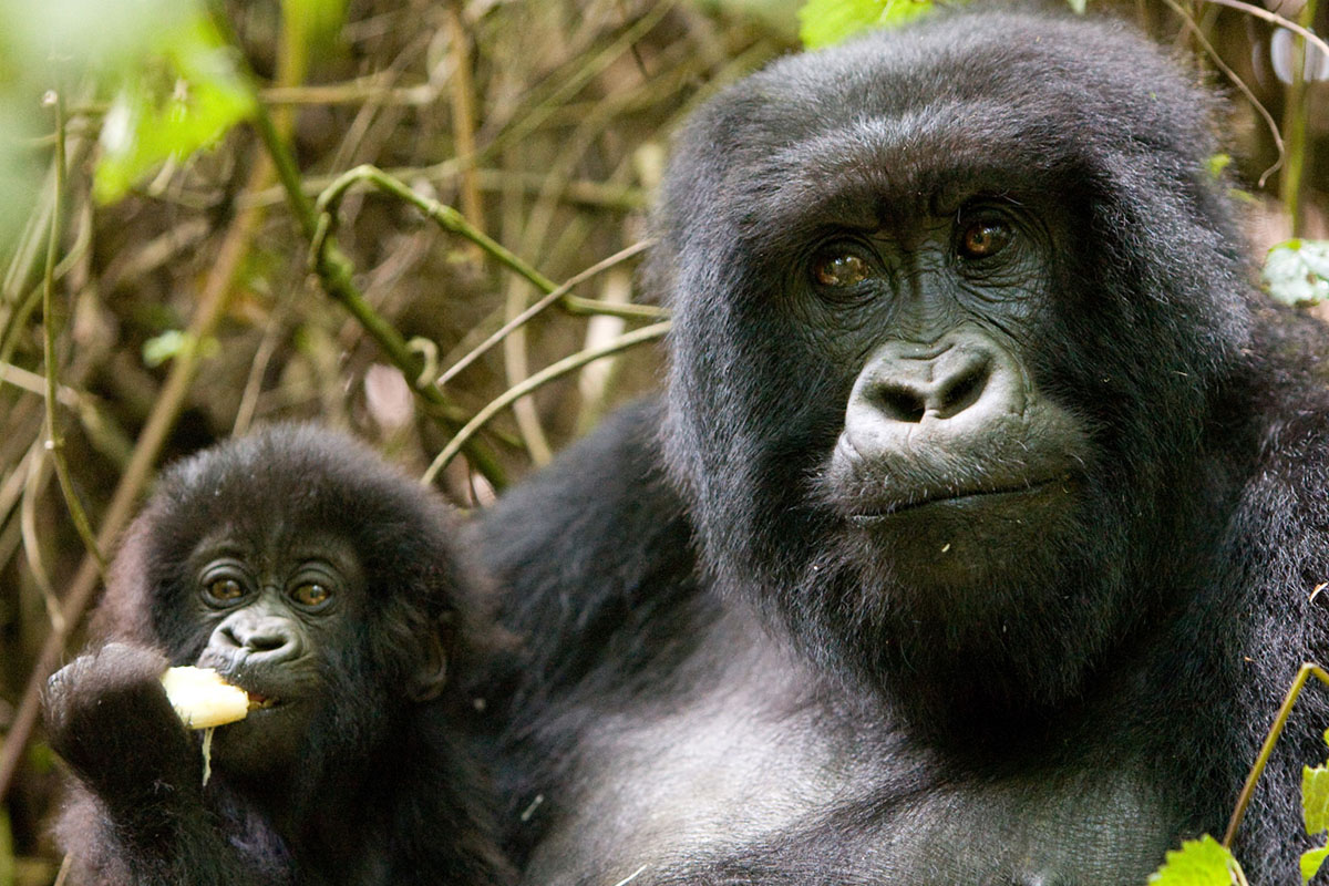 gorillas and volcanoes uganda-packages-tours-journey-in-style