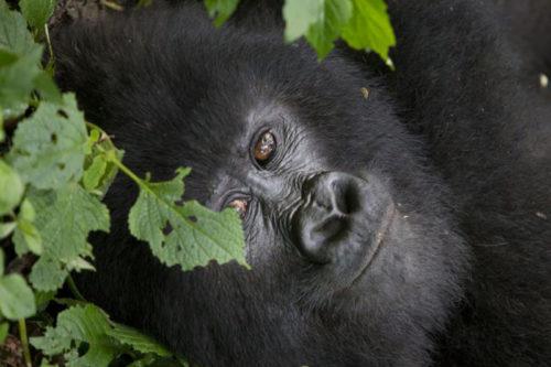 mountain gorilla view lodge Rwanda-safaris