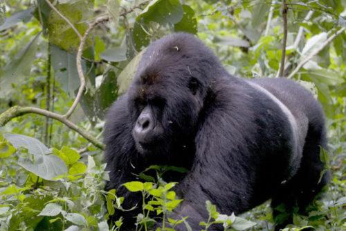 mountain gorilla view lodge Silverback-Gorilla-in-Rwanda
